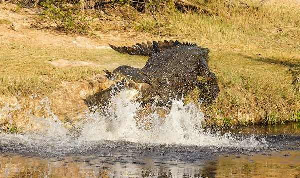 A brave wife saved her husband's life after she pulled him from the jaws of a crocodile.